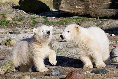 Elsa und Anna heißen die putzigen Eisbär-Zwillinge. Foto: Bernd Ohlthaver/Zoo am Meer Bremerhaven/dpa