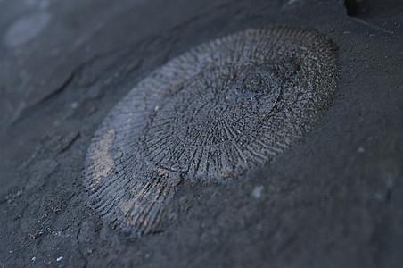 Ammonit mit Schiefernplatte