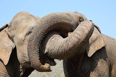 Kranke und traumatisierte Elefanten werden im Norden Thailands im «Elephant Nature Park» versorgt. Foto: Save Elephant Foundation/dpa