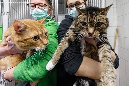 Die Katzen Lolek (l) und Bolek suchen nach ihrer überstandenen Corona-Infektion ein neues Zuhause. Die beiden kastrierten Kater sind in den Vermittlungsbereich des Tierheims umgezogen. Foto: Markus Scholz/dpa