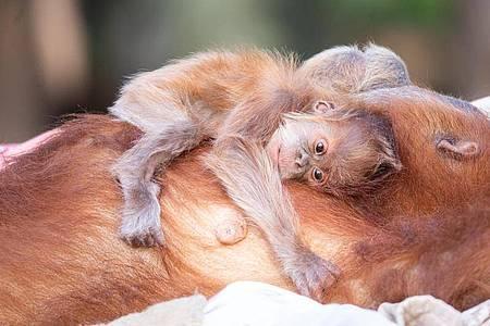 Auf dem Bauch trägt Orang-Utan-Mutter Tana ihren süßen Nachwuchs. Foto: Michal Levy/Yam Siton/dpa