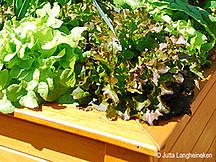 Salate in einem Hochbeet
