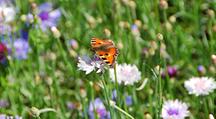 Blumenwiese mit Schmetterling