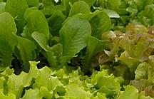 Verschiedene grüne, junge Salatsetzlinge