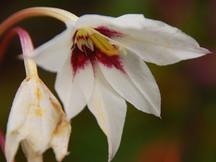 Offene weiß-pinke Blüte einer Sterngladiole