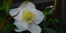 Weiße offene Christrosenblüte vor grünem Hintergrund