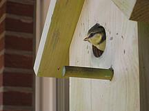 Vogel der aus Vogelhäuschen guckt