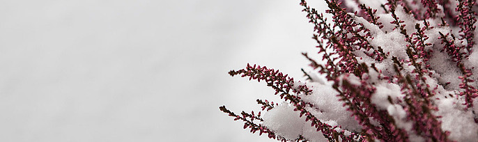 Blühende Heide im Schnee