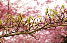 Brauner Ast, im Hintergrund rosa Blüten