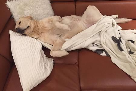 Studiohund Lotte liegt auf einem Sofa